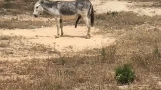 Donkey has a fifth leg  - Video