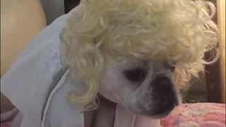 Marilyn Monroe French Bulldog - Video