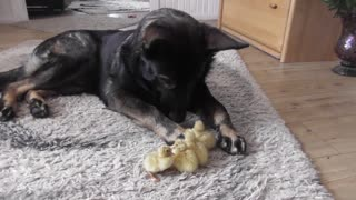 Loving German Shepherd Watches Over His Little Ducklings