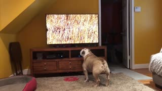 Bulldog calls for backup after spotting hyenas on TV