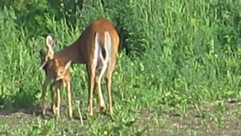 Baby Fawn Enjoys The Morning