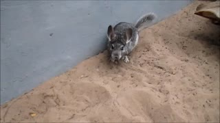 Chinchillas display incredibly quick acrobatics - Video