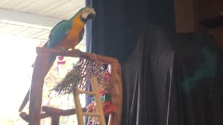 Camera shy parrot finally talks to owner
