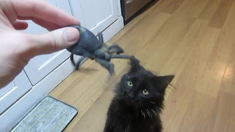 Determined cat attacks giant rubber spider