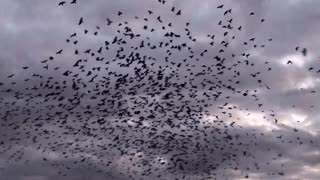 Blackbirds at Sunrise - Video