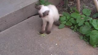 White cat playing with toy - Video