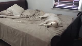 Dog Caught Jumping On Bed Makes Hilariously Guilty Face