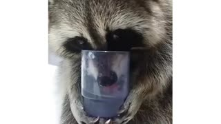 Raccoon drinks water just like a human!