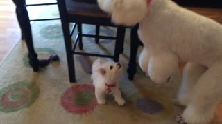New puppy addition not intimidated by giant poodle - Video