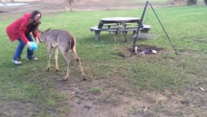 Adorable baby deer plays soccer with humans - Video