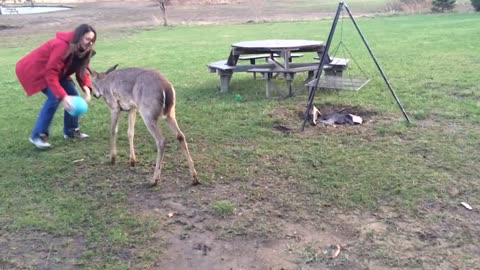 Adorable Baby Deer Plays Soccer With Humans
