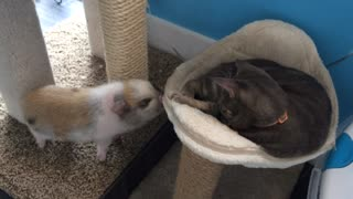 Mini pig attempts to play with the cat, quickly gets denied