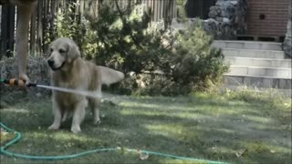 Golden Retriever performs jumping act over water hose - Video