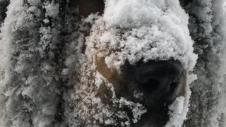 Huge Dog Loves Huge Snow