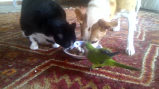 Dog, cat & parrot share lunch from the same plate - Video
