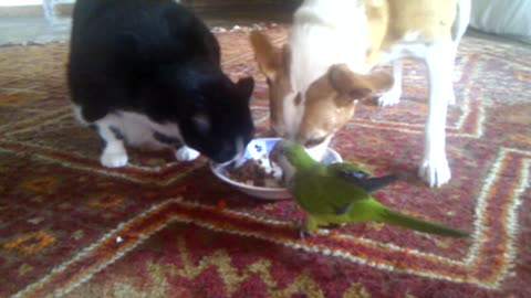 Dog, cat & parrot share lunch from the same plate