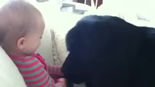 Giant Newfoundland dog makes toddler giggle - Video