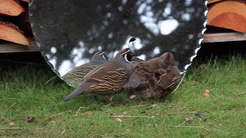 Pair of quails deeply confused by mirror reflection