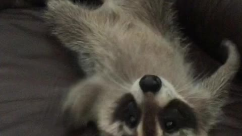 attack of the baby raccoon