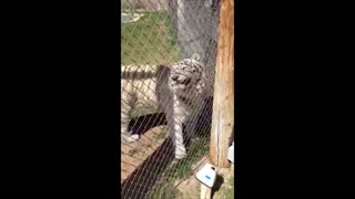 White Tiger Terrifies Onlookers With Roar - Video