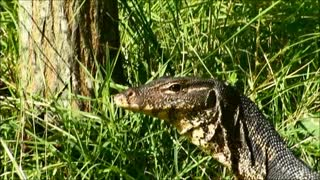 Enormous lizard spotted in front bungalow in Thailand - Video