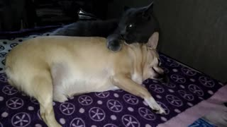 The dog is very relaxed from the massage from the cat