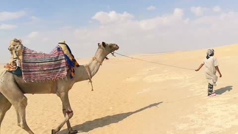 Old 100 Years African Camel In Wadi El Rayan Desert