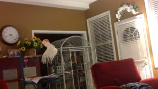 Peaches, The Cockatoo, Mimicking A Couple Arguing...Hilarious!! - Video