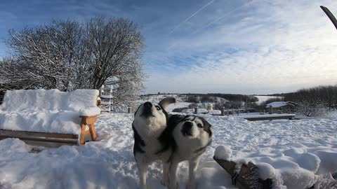 Two huskies decided to complain. They pay little attention and poorly fed.
