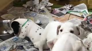 Dalmatian little Dog