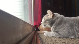 Hilarious Cat Mumbles To Himself While Hunting Birds On The Patio - Video