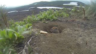 Freeze Gopher!! Adorable Gopher Poses and Grabs Snack - Video