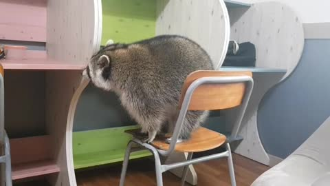 Big raccoon tries to sit on top of desk