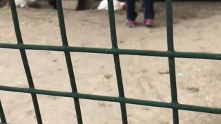 8 year old chicken chase  - Video