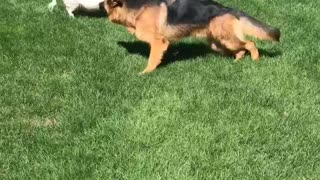 Piggy Plays Tag With Puppy Dog