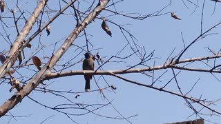Beautiful bulbul looking for fresh food from the top of the tree  - Video