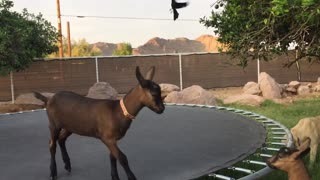 Pair Of Adorable Baby Goats Bounce On Trampoline - Video