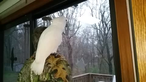 Cockatoo totally enthralled by first ever snowfall