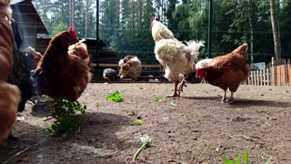 Chickens and roosters on the happy farm