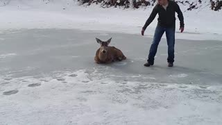 Buck Rescued From Frozen Lake - Video