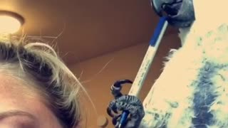 Spoiled Parrot Uses Pen To Play The Drums On Owner's Head  - Video