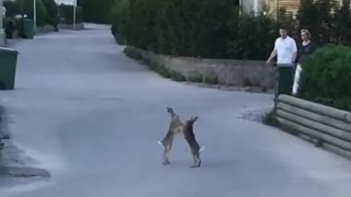 These rabbits in Sweden decide to brawl in the middle of the street!