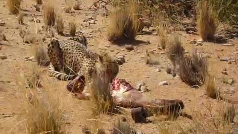 Rescued cheetah shows what it means to be a carnivore