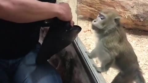 Hysterical monkey communication through glass panel at the zoo