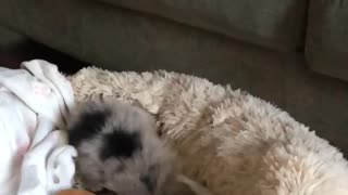 Puppy dives off couch  - Video