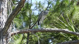 Blue Heron on a tree limb