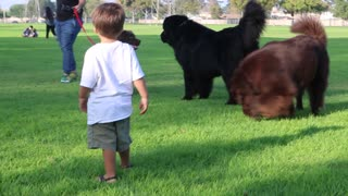 Tiny toddler gets blindsided by massive Newfoundland - Video
