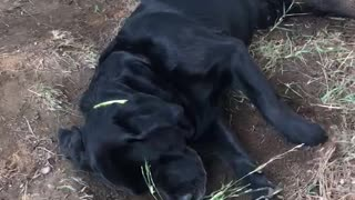 Black dog scratching dirt brown dog puts paw on dog - Video