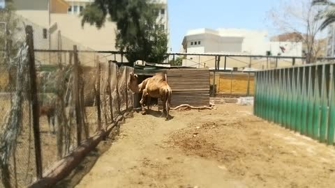 Female Camel Moving Towards Young Visitors