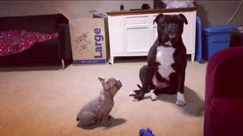 Older bulldog not impressed with new Frenchie puppy!